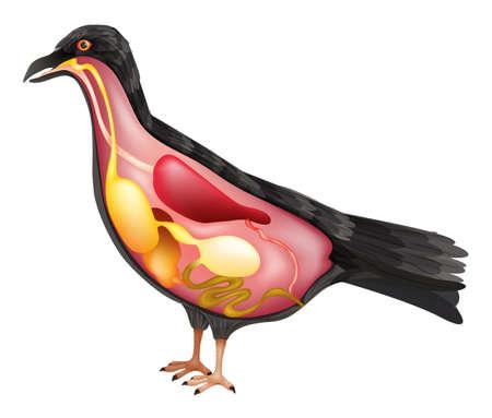 Ilustración de la anatomía de un pájaro