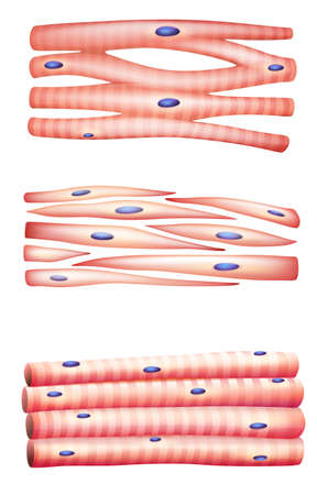 skeletal muscle: Illustration of the types of muscles