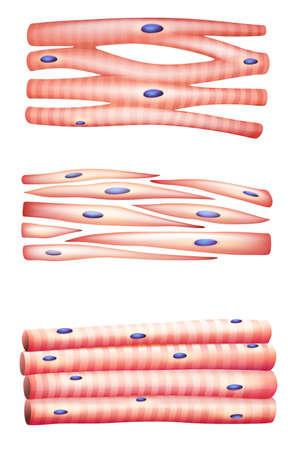 musculos: Ilustración de los tipos de músculos
