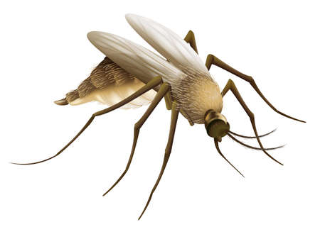 insecta: Illustration of the mosquito