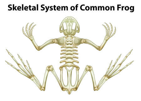 phalanges: Illustration of a skeletal system of a common frog on a white background