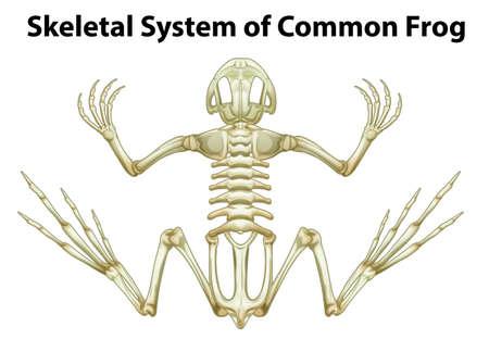 skeletal system: Illustration of a skeletal system of a common frog on a white background