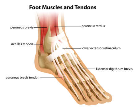 anatomy muscles: Illustrattion of the foot muscles and tendons on a white background Illustration