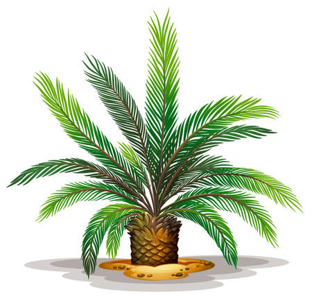 japanese garden: Illustration of the cycas revolute on a white background