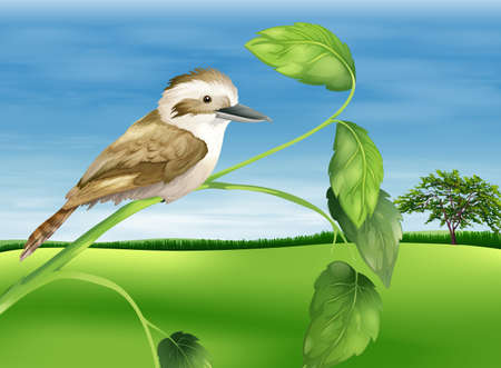 chordata: Illustration of a kookaburra