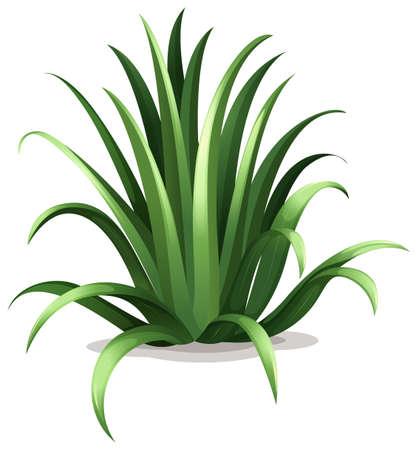 agave: Ilustraci�n del bracteosa agave en un fondo blanco