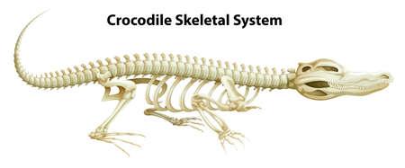 klatki piersiowej: Ilustracja Krokodyl szkieletowego na białym tle Ilustracja