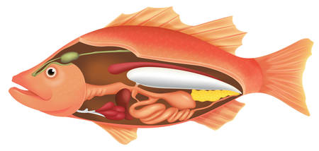 esophagus: Illustration of the anatomy of a fish on a white background