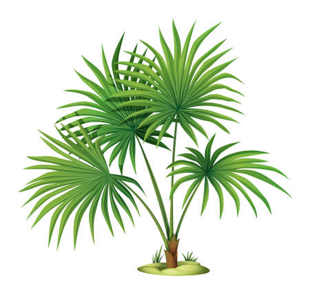 tall tree: Illustration of the Washingtonia robusta on a white background Illustration