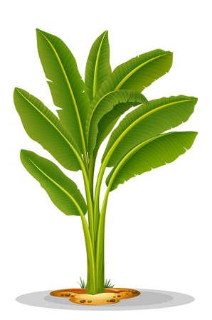 plantain: Illustration of the Musa paradisiaca
