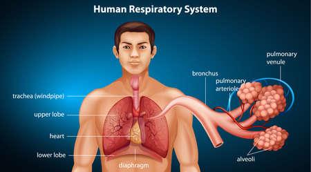 alveolos pulmonares: Ilustración que muestra el sistema respiratorio humano
