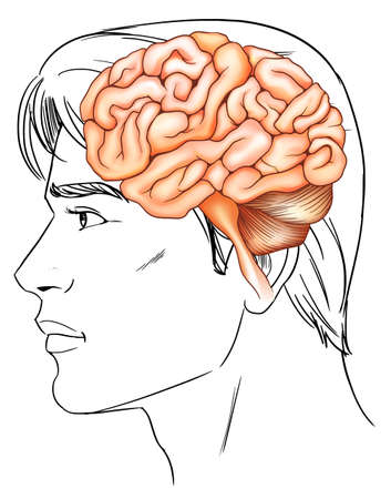 An illustration of the human brain Stock Vector - 22730323