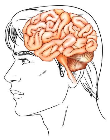 occipital: An illustration of the human brain Illustration