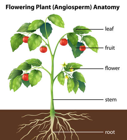 planted: Illustration showing the parts of a tomato plant