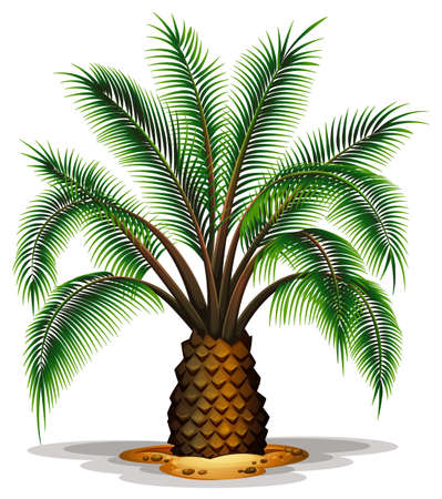 canary islands: Illustration of the Phoenix canariensis on a white background Illustration