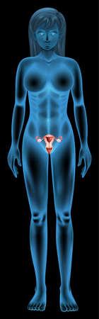 sistema reproductor femenino: Ilustración del aparato reproductor de una mujer
