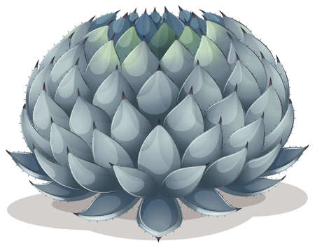plantae: Illustration of an Agave parryi on a white background Illustration