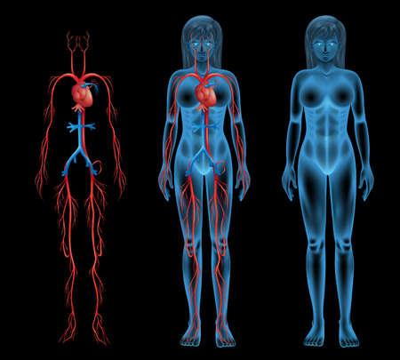 Illustratie van de vrouwelijke bloedsomloop