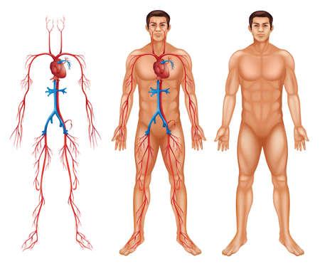 Illustratie van de mannelijke bloedsomloop op een witte achtergrond