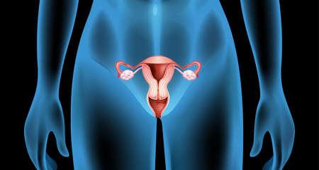 Illustratie van het voortplantingsorgaan van het vrouwelijk lichaam