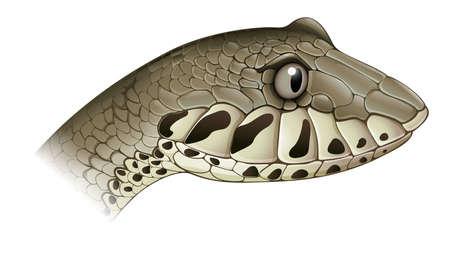 adder: Illustration of a death adder on a white background
