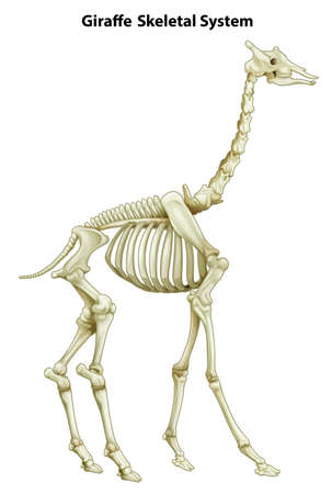 Illustration of the skeletal system of a giraffe on a white background
