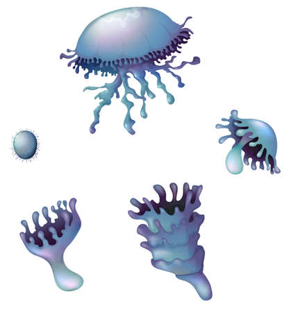 embryonic development: Illustration of a life cycle of a jellyfish on a white background