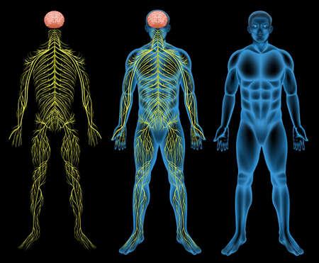 nerveux: Illustration du syst�me nerveux masculin Illustration
