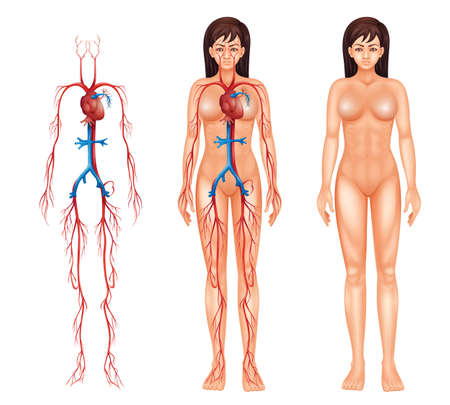 human anatomy: Illustration of the female circulatory system on a white background Illustration