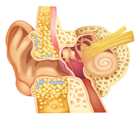 bone anatomy: Illustration of an ear cross-section on a white background Illustration