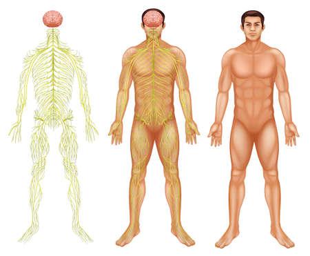 척수: 흰색 배경에 사람의 신경계의 그림 일러스트