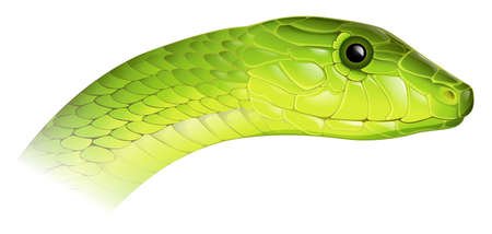 herpetology: Illustration of Dendroaspis angusticeps - Eastern Green Mamaba on a white background