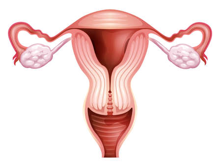 endometrium: Illustration of the female reproductive organ on a white background