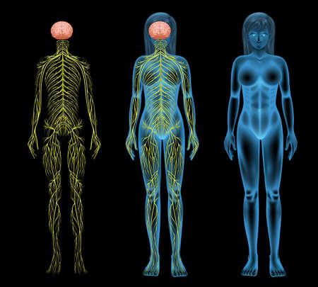 sistema nervioso central: Ilustración del sistema nervioso femenino Vectores