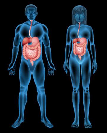 partes del cuerpo humano: Ilustración del sistema digestivo