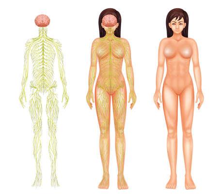 척수: 흰색 배경에 여성의 신경계의 그림