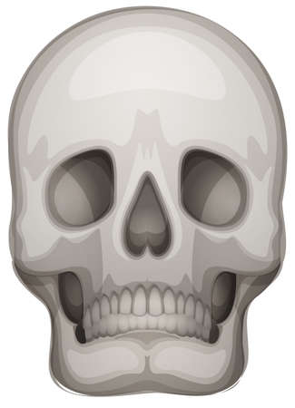 maxilla: Illustration of a human skull on a white background