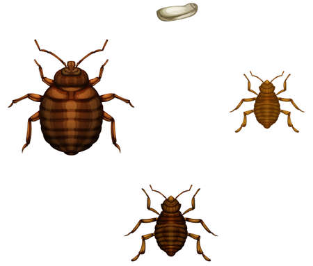 Illustration of the life cycle of a bed bug on a white background