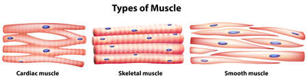 Illustration of the types of muscles on a white background Illustration