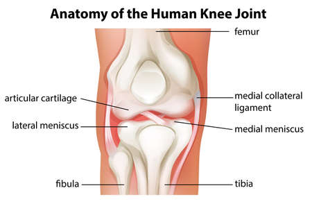 bone anatomy: Illustration of the human knee joint anatomy on a white background