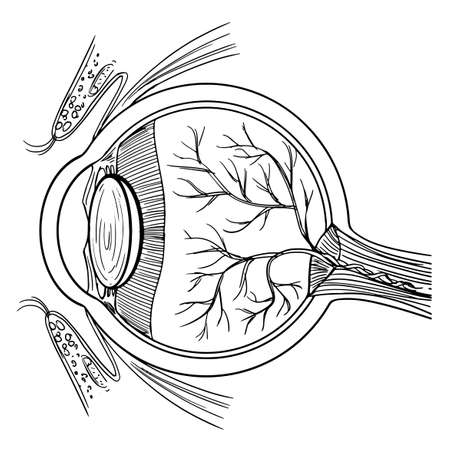 crystalline lens: Illustration of the human eyeball on a white background