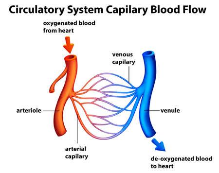 blood flow: Illustrazione del sistema circolatorio - Capilary il flusso di sangue su uno sfondo bianco Vettoriali