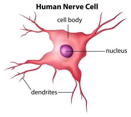 척수: 흰색 배경에 인간의 신경 세포의 그림