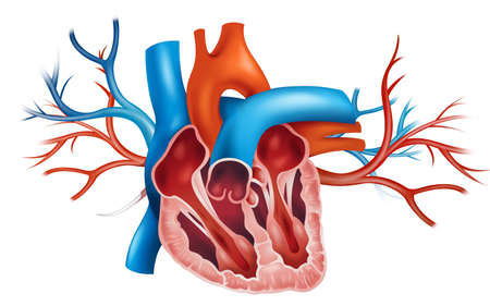 tricuspid valve: Illustration of a human heart on a white background Illustration