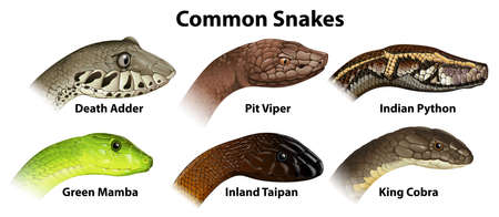 Illustration of the common snakes on a white background Vector