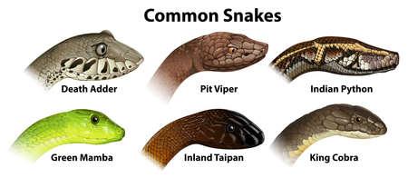 serpiente cobra: Ilustración de las serpientes comunes sobre un fondo blanco