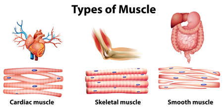 muscle anatomy: Illustration of the type of muscle on a white background