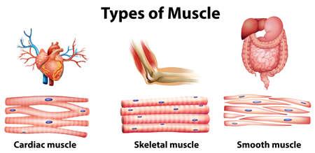 tipos: Ilustración del tipo de músculo sobre un fondo blanco