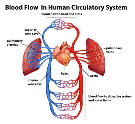 circolazione: Illustrazione del flusso di sangue nel sistema circolatorio umano su uno sfondo bianco