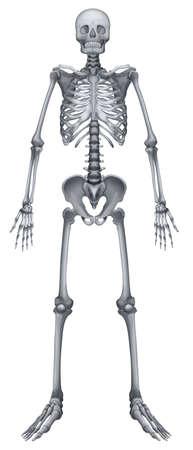 lombaire: Illustration du syst�me squelettique humain sur un fond blanc Illustration